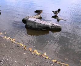test panasonic DSLR on video auto – ducks on river – evanchuck